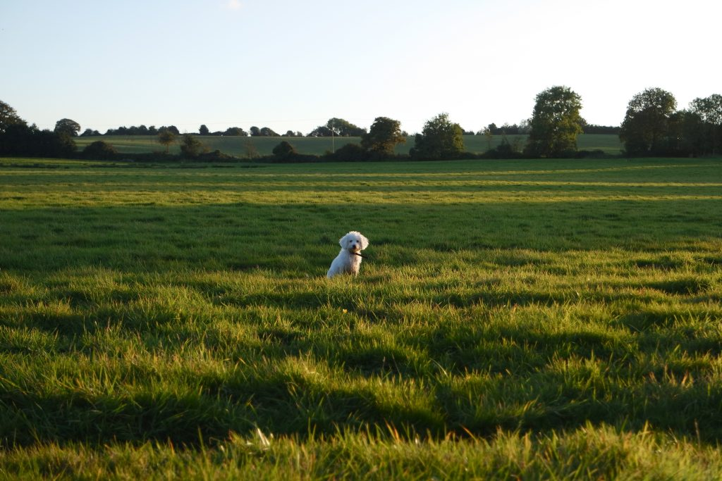 white puppy in field